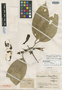 Anemopaegma chrysanthum Dugand, COLOMBIA, J. Cuatrecasas 14269, Isotype, F