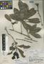 Amphitecna molinae image