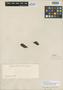 Jacaranda macrocarpa Bureau & K. Schum., BRAZIL, R. Spruce 2571, Isolectotype, F