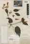 Lundia puberula Pittier, PANAMA, H. F. Pittier 5499, Isotype, F