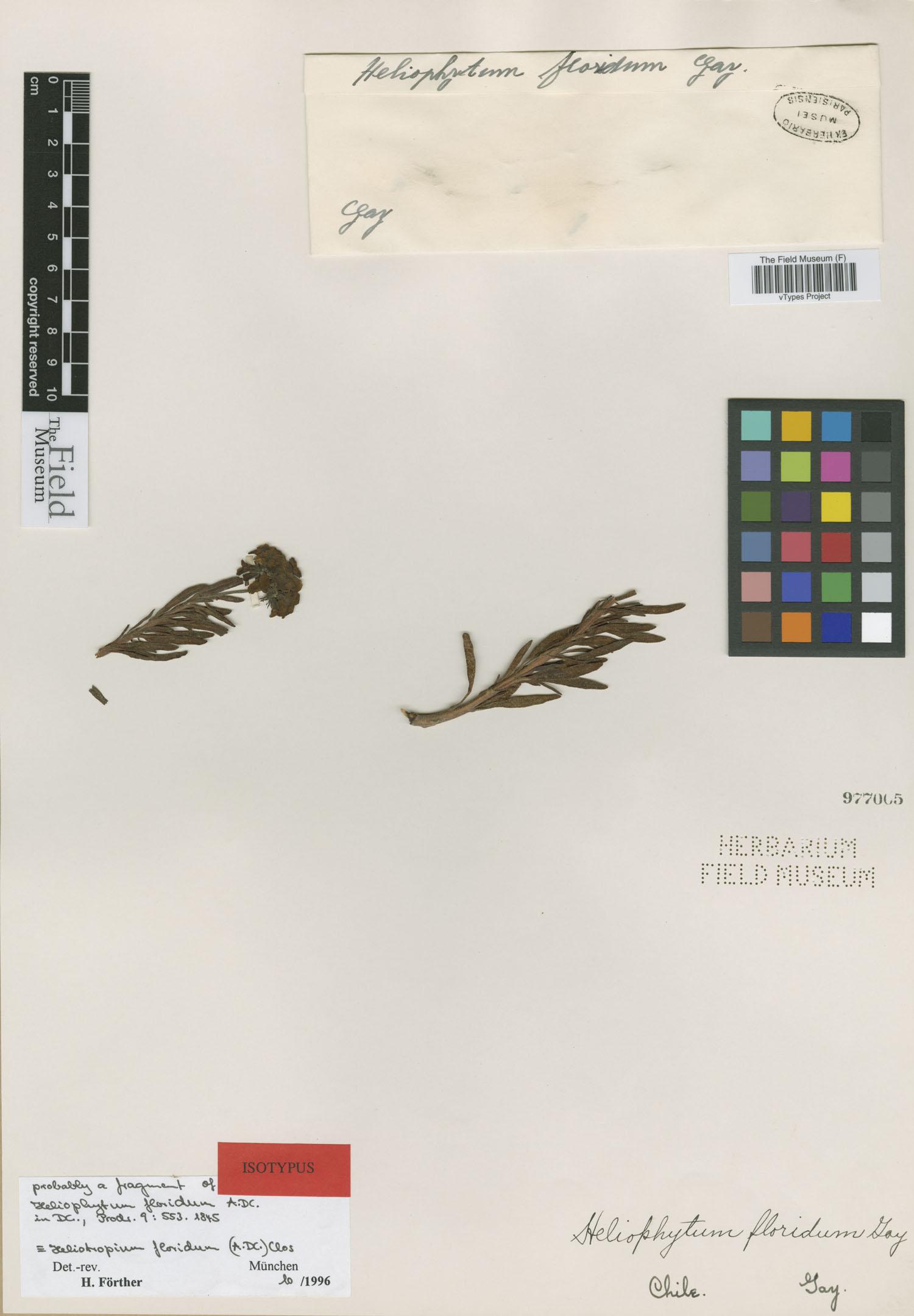 Heliophytum image