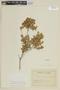 Myrceugenia ovata var. nannophylla image