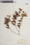 Myrcia bracteata (Rich.) DC., COLOMBIA, F