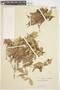 Myrcia acuminata (Kunth) DC., VENEZUELA, F
