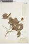 Myrcia mollis (Kunth) DC., COLOMBIA, F