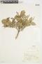 Myrcia mollis (Kunth) DC., PERU, F