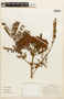 Dimorphandra mollis Benth., BRAZIL, F