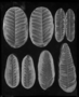 Alethopteris rugosum. Wilmington Paleo and Mazon Creek fossil specimens, leaves Geology specimen PP30996. Collected by Mr. George Langford.