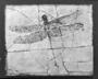 Giant dragonfly, Cymatophlebia longialata.  Jurassic, Solnhofen, Bavaria. Geology fossil specimen P2002
