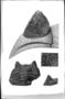 Dalmanites pratteni Roy. Trilobites. Fossil Invertebrate