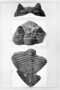 Dalmanites pratteni Roy. Trilobites. Fossil Invertebrate. Fig. 2. Dalmanites pratteni Roy, sp. nov. a, Enlargement of left eye. Rear view. X4. b, Right eye. Front view, c, Dorsal view, showing height of eye above glabella and portion of enrolled thorax, d. Enlargement of section of lenses. X5. No. P 16704.