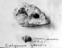 Calymene gracilis Fossil Invertebrate Geology specimen P17065