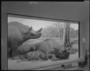 Titanotheres, Brontops robustus Restoration group diorama by Frederick Blaschke. In Hall 38, glass is not on the case yet, can of Dutch Boy White Lead Soft Paste is holding up a wood board in front of the case.