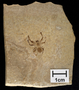 Fossil of Male jumping spider Salticidae Early Eocene (50 million years ago) Fossil Lake, Wyoming Geology Specimen # PE60320