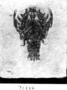 Fossil lobster relative, Cycleron. Eryon aretifarmis.  Fossil Invertebrates. SP# p1994