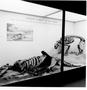 Animals Caught in Tar Pools. La Brea Tar Pit, Smilodon. Pleistocene. Hall 38 Case 24, Fossil Vertebrates.