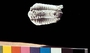 Trilobite Calmene gelebra