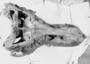 SUE T.rex skull