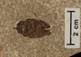 Fossil insect beetle, from Fossil Lake, Wyoming.