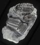 Fossil Trilobite. Fossil invertebrate Geology specimen PE25600