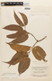 Macrolobium angustifolium (Benth.) R. S. Cowan, SURINAME, F
