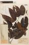 Macrolobium angustifolium (Benth.) R. S. Cowan, BRITISH GUIANA [Guyana], F