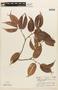 Macrolobium angustifolium (Benth.) R. S. Cowan, COLOMBIA, F