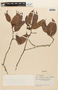 Macrolobium angustifolium (Benth.) R. S. Cowan, VENEZUELA, F