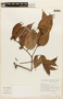 Macrolobium angustifolium (Benth.) R. S. Cowan, BRAZIL, F