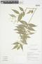 Myrcia splendens (Sw.) DC., FRENCH GUIANA, F