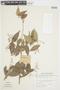 Myrcia splendens (Sw.) DC., SURINAME, F