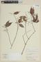 Myrcia splendens (Sw.) DC., PERU, F