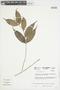 Myrcia splendens (Sw.) DC., COLOMBIA, F