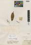 Brunellia acutangula Humb. & Bonpl., COLOMBIA, J. C. B. Mutis, Isotype, F