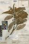 Brunellia putumayensis Cuatrec., COLOMBIA, J. Cuatrecasas 11610, Isotype, F