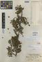 Bursera howellii Standl., COSTA RICA, J. T. Howell 10244, Holotype, F
