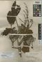 Canarium clementis Merr., PHILIPPINES, M. S. Clemens, Isotype, F