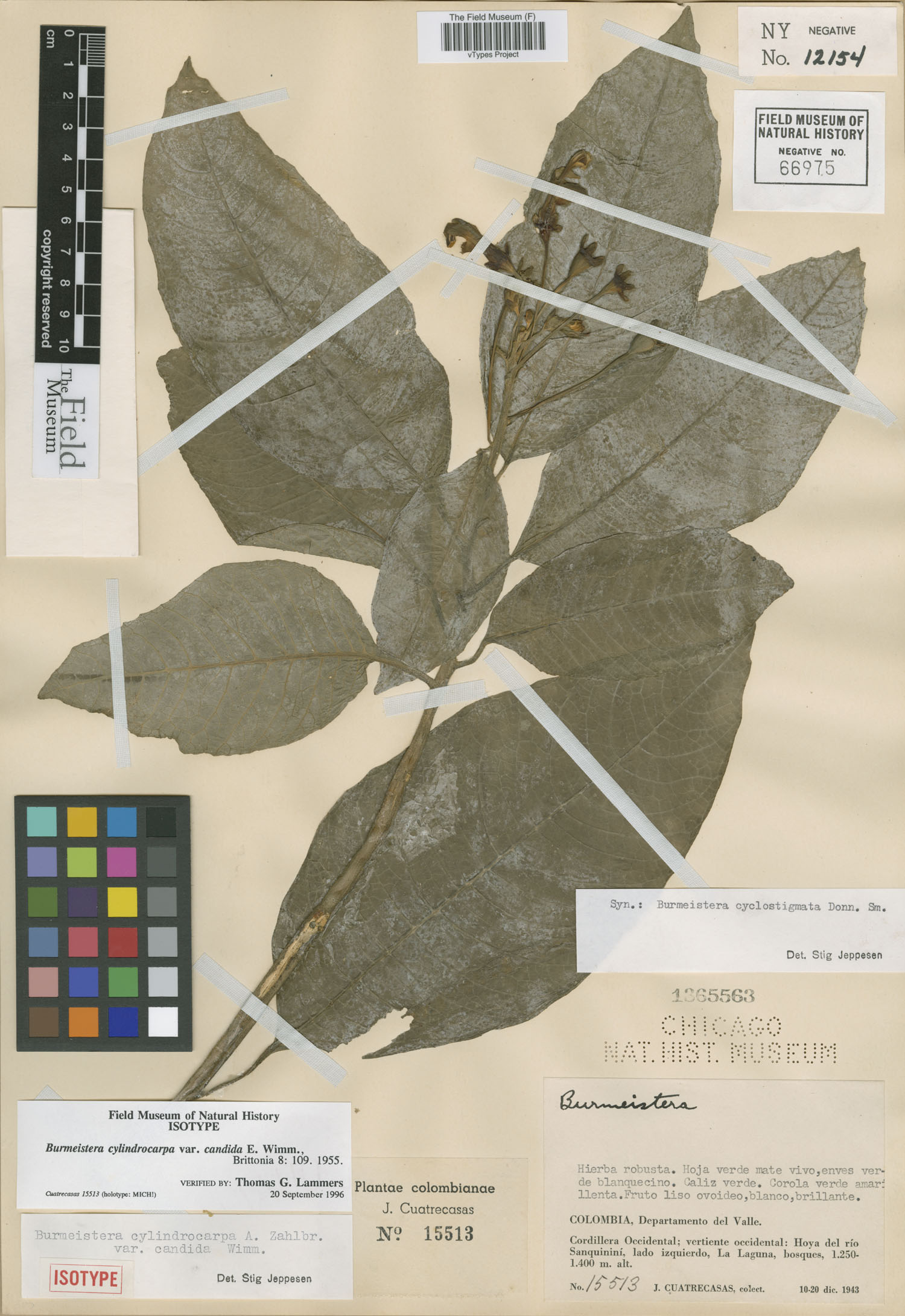 Burmeistera cylindrocarpa image