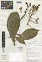 Burmeistera racemiflora image