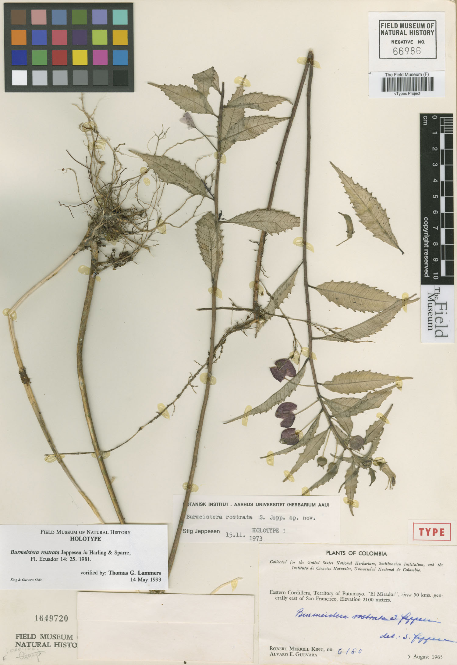 Burmeistera rostrata image