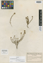 Roella lightfootioides Schltr., SOUTH AFRICA, F. R. R. Schlechter 7397, Isotype, F