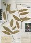 Capparis trinitensis Urb., Trinidad and Tobago, W. E. Broadway 2611, Isotype, F