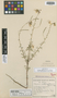 Cleome sulfuera Bremek. & Oberm., SOUTH AFRICA, G. van Son 28809, Isotype, F