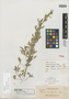 Cleome acutifolia Elmer, PHILIPPINES, A. D. E. Elmer 12697, Isotype, F