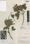 Caryocar krukovii Gilly, BRAZIL, B. A. Krukoff 8838, Isotype, F