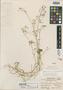 Cerastium guatemalense Standl., GUATEMALA, J. R. Johnston 816, Holotype, F