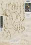 Cerastium subspicatum Wedd., Bolivia, G. Mandon 966, Syntype, F