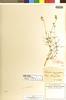 Cerastium grandiflorum Waldst. & Kit., HUNGARY, A. C. V. Schott, Isotype, F
