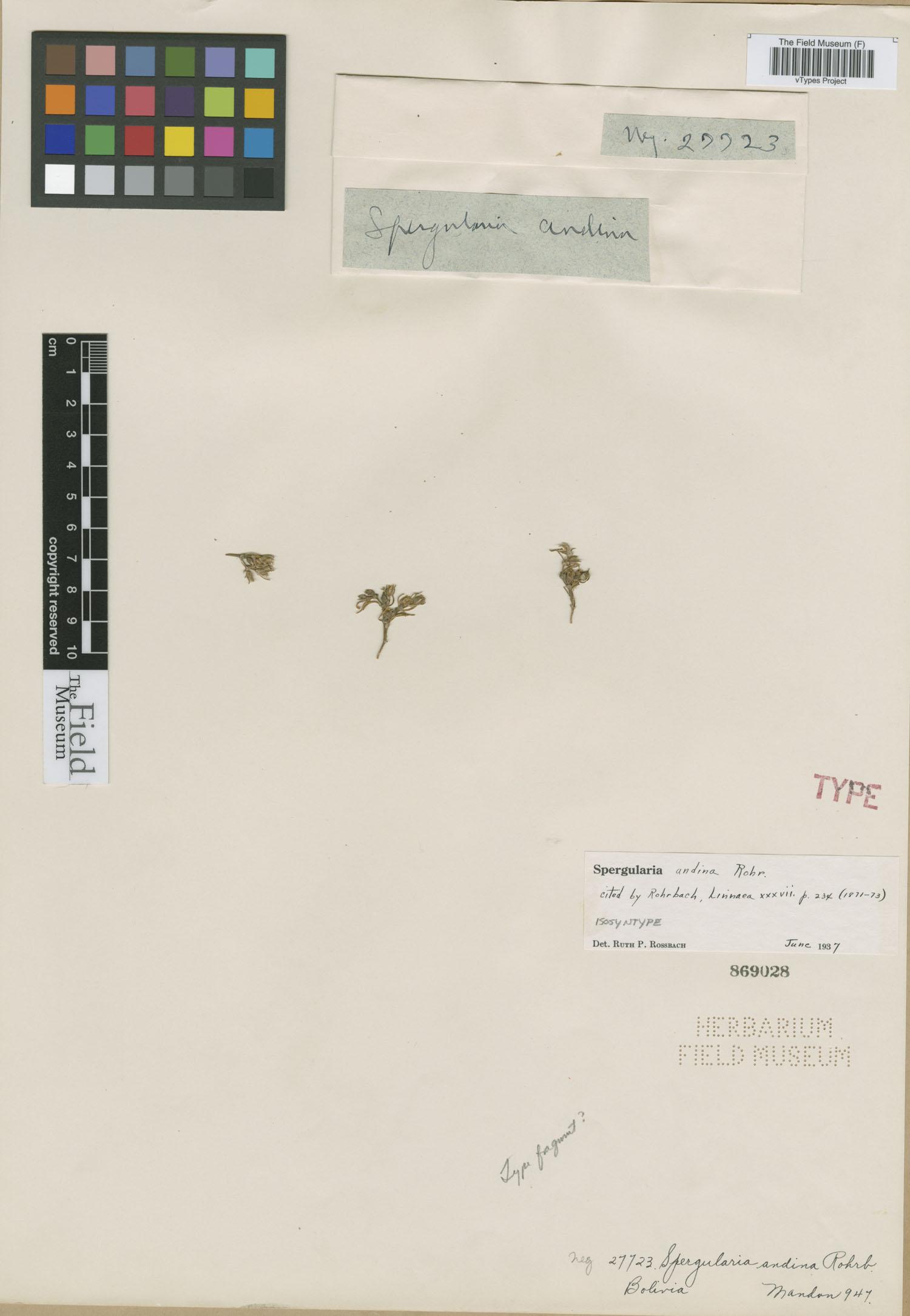 Spergularia andina image
