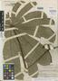 Cecropia obtusifolia image